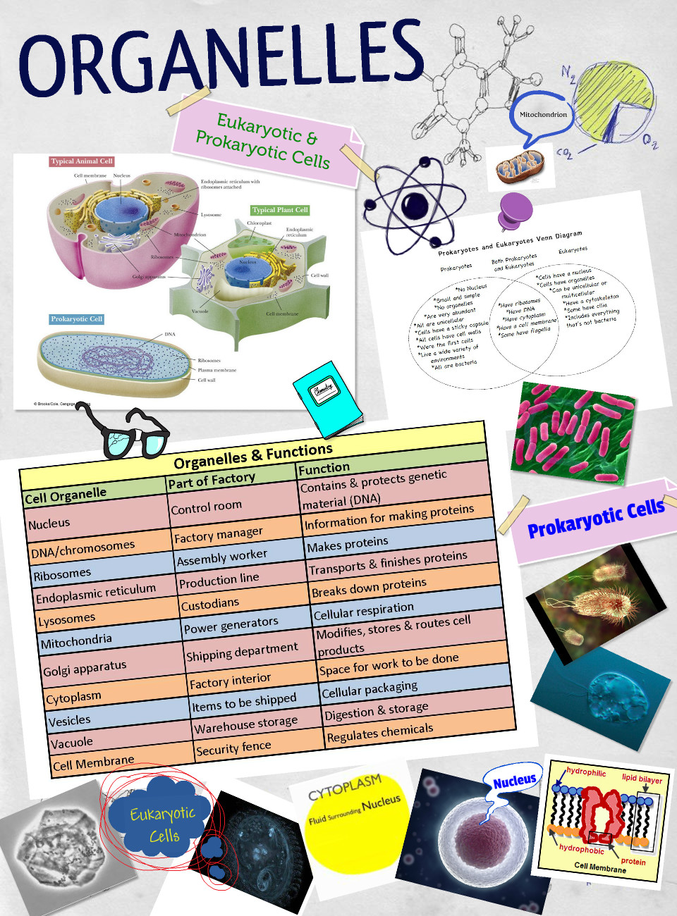 Sample - Cell Organelles